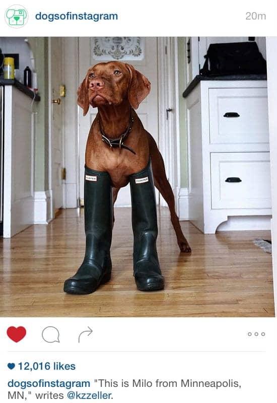 Vizsla in Rain Boots